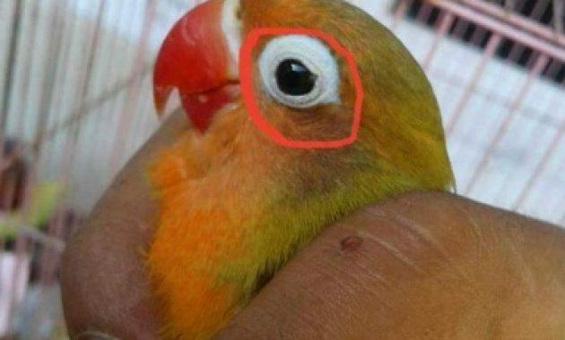 mata lovebird dewasa