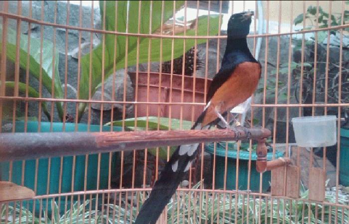 Hal Yang sering Di Alami Oleh Burung Murai Batu