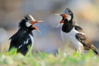 cara memaster burung kicauan