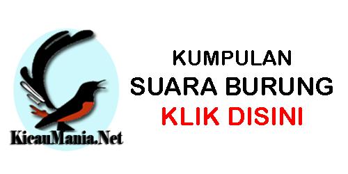 Daftar Harga Burung Jalak Nias Terbaru 2021 Portal Informasi Kicau Mania Indonesia Terpercaya