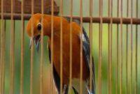Perawatan Burung Anis Merah Setelah Mabung