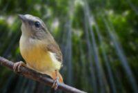burung cikrak bambu